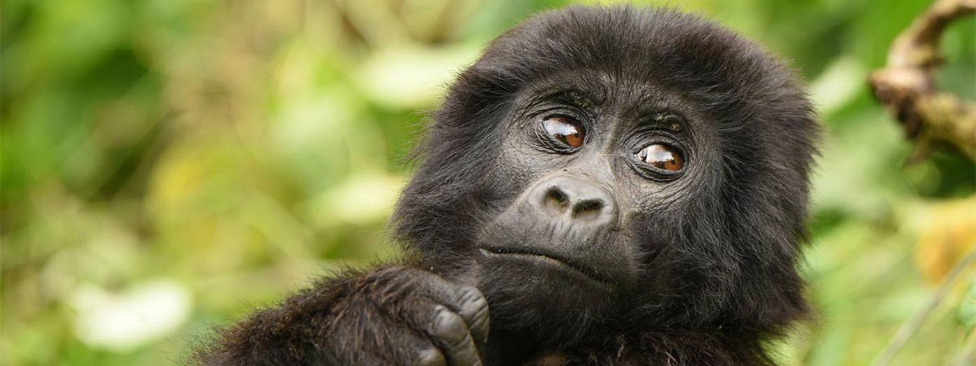 Gorilla tracking in Uganda and Murchison Falls